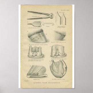 Vintage Horse Anatomy Print Hoof Cracks