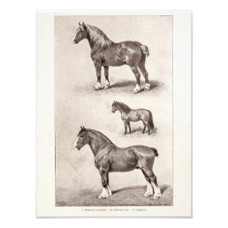 Vintage Horse Clydesdale Shetland Belgian Horses Photo