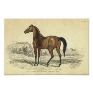Vintage Horse Print Colt Of Brood Mare