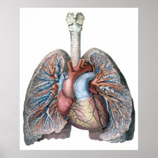Vintage Human Anatomy Lungs Heart Organs Blood Print