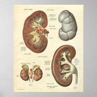 Vintage Human Anatomy Print Kidney