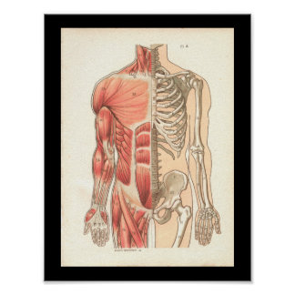 Vintage Human Muscle and Skeletal Anatomy Print