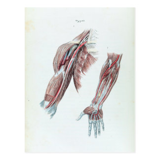 Vintage Illustration Anatomy Human Arms and Hands Postcard