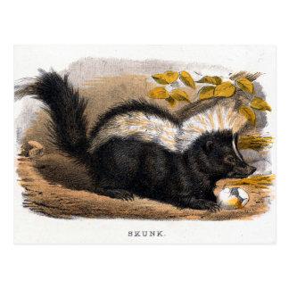 Vintage Illustration of a Skunk Postcard