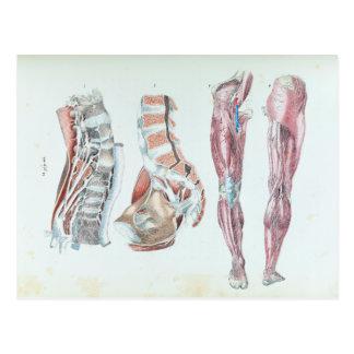 Vintage Illustration of Anatomy of Human Legs Postcard