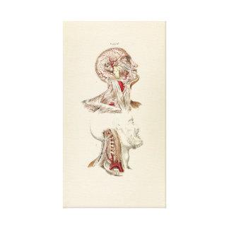 Vintage Illustration of Human Arteries Canvas Print