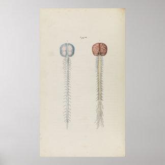 Vintage Illustration of Human Brain and Spine Poster