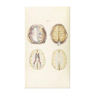 Vintage Illustration of Human Brain Canvas Print