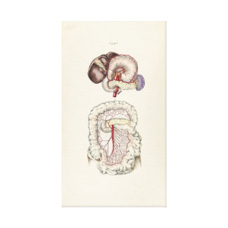 Vintage Illustration of Human Digestive System Canvas Print