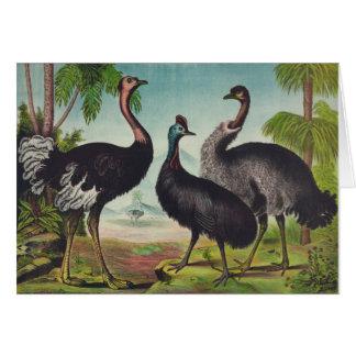 Vintage Illustration - Ostriches, Card