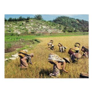 Vintage Indonesia, Harvesting rice, near Borobodur Postcard