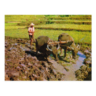 Vintage Indonesia, Ploughing rice fields Postcard