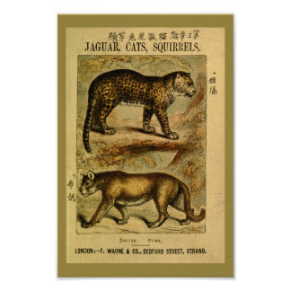 Vintage Jaguar Puma Cat Natural History Print