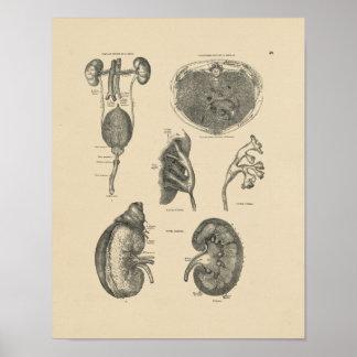 Vintage Kidney Bladder Anatomy 1880 Print
