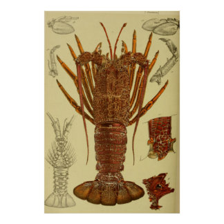 Vintage Lobster Anatomy Diagram (1890) Poster