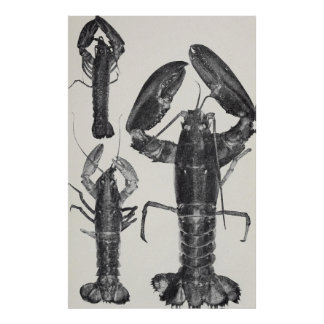 Vintage Lobster Photograph (1911) Poster
