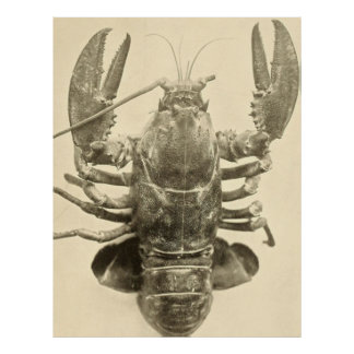 Vintage Maine Lobster Photograph (1895) 2 Poster