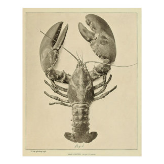 Vintage Maine Lobster Photograph (1895) Poster