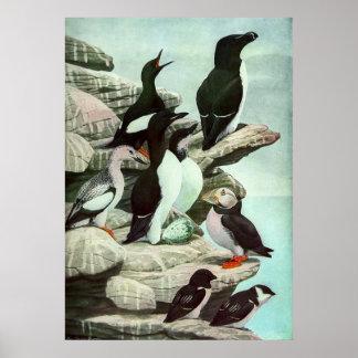 Vintage Marine Animal Life, Aquatic Birds Puffins Poster