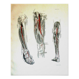 Vintage medical illustration of the leg poster