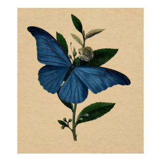 Vintage Natural History Wall Decor Blue Butterfly Poster