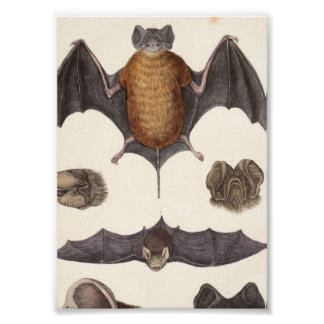 Vintage Nocturnal Bat Specimen Canvas Print