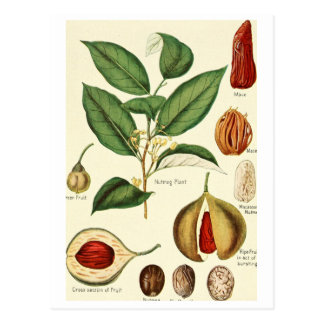 Vintage nutmeg illustration postcard recipe card