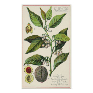 Vintage Nutmeg Plant Fruit Seeds, Food Herbs Spice Poster