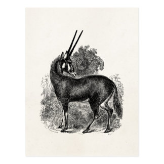 Vintage Oryx Antelope Gazelle Personalized Animals Postcard
