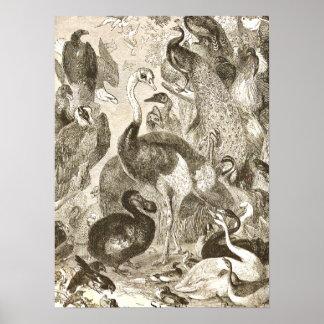 Vintage Ostrich Illustration Struthio camelus Poster