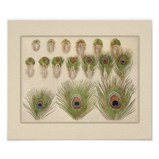Vintage Peacock Feather Poster