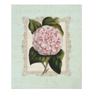 Vintage Pink and White Camellia Shabby Elegance Poster