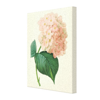 Vintage Pink Hydrangea Hortensia Flower by Redoute Stretched Canvas Print