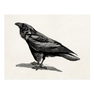 Vintage Raven Crow Blackbird Bird Illustration Postcard
