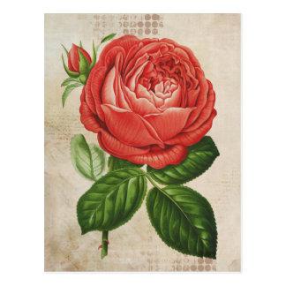 Vintage Red Hybrid Perpetual, Paul Neyron Rose Postcard