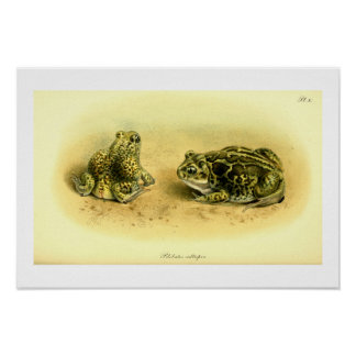 Vintage Scientific Illustration Spadefoot Toad Poster