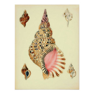Vintage Sea Shells Poster