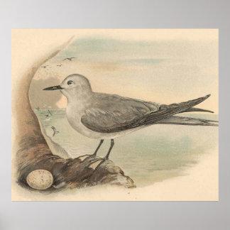 Vintage Seagull Illustration (1906) Poster