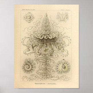 Vintage Siphonophorae Color Ernst Haeckel Print