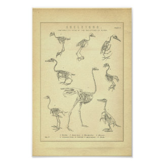 Vintage Skeletons of Birds Print