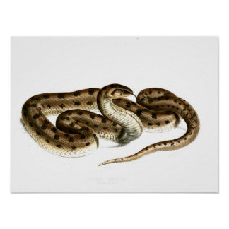 Vintage snake Drawing-Brown-spotted-African Poster