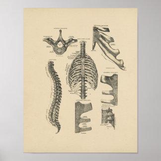 Vintage Spinal Anatomy 1880 Print