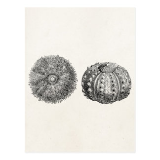 Vintage Spiny Sea Urchin Antique Template Postcard