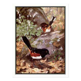 Vintage Spotted Towhee - Robert Bruce Horsfall Postcard