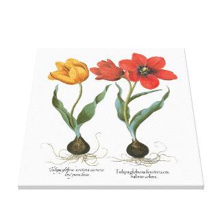 Vintage Spring Tulip Flowers by Basilius Besler Stretched Canvas Prints