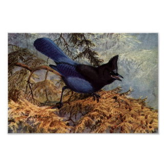 Vintage Steller's Jay Bird Art Poster