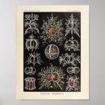 Vintage Stephoidea Colour Ernst Haeckel Art Print