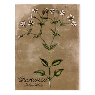 Vintage Style Chickweed Postcard