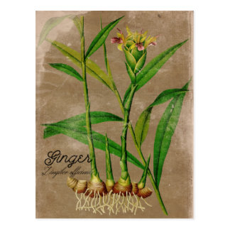 Vintage Style Ginger Root Plant Postcard