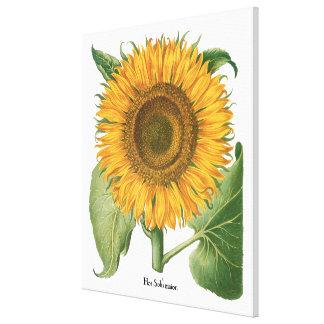 Vintage Sunflower Flower by Basilius Besler Canvas Prints